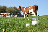 Jug of milk against herd of cows. Emmental region, Switzerland — Zdjęcie stockowe