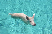 Famous swimming pigs of Exuma Cays, Bahamas — Stock Photo