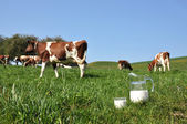 Jug of milk against herd of cows. Emmental region, Switzerland — Стоковое фото