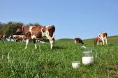 Kannan mjölk mot besättningen av kor. emmental regionen, schweiz — Stockfoto