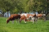 Vacas en la región de emmental, suiza — Foto de Stock