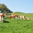 Cows in Emmental region, Switzerland - Stock Photo