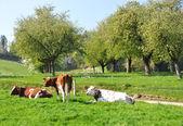 Krávy v regionu ementál, švýcarsko — Stock fotografie