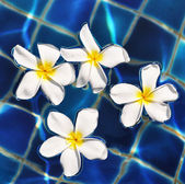 Floating frangipani — Stock Photo