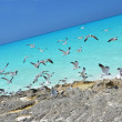 Seagulls at the coast of Little Exuma, Bahamas — Stock Photo #26897545