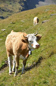 Cow in an Alpine meadow. Jungfrau region, Switzerland — Stock Photo