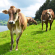 Swiss cows on Alpine meadow  — Stok fotoğraf