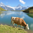 Stock Photo: Cows in Alpine meadow. Jungfrau region, Switzerland