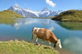 Cows in an Alpine meadow. Jungfrau region, Switzerland — Stock Photo