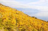 熔丝,瑞士的葡萄园 — 图库照片