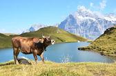 Cow in an Alpine meadow. Jungfrau region, Switzerland — Stock Photo