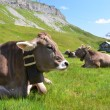 Cows in an Alpine meadow. Melchsee-Frutt, Switzerland — Stok fotoğraf