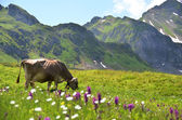 Cow in an Alpine meadow. Melchsee-Frutt, Switzerland — Stock Photo
