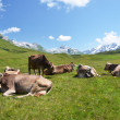 Cows in an Alpine meadow. Melchsee-Frutt, Switzerland  — Photo