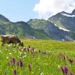 Cow in an Alpine meadow. Melchsee-Frutt, Switzerland — Stock Photo #28854693