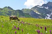 Cow in an Alpine meadow. Melchsee-Frutt, Switzerland — Stock Photo