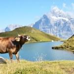 koe in een alpiene weide. Jungfrauregio, Zwitserland — Stockfoto #28948565