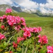 Stock Photo: Mountain Azalea, Switzerland