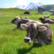 Cows in an Alpine meadow. Melchsee-Frutt, Switzerland — Stock Photo #29129453