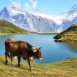Stock Photo: Cow in Alpine meadow. Jungfrau region, Switzerland