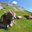 Cows in an Alpine meadow. Melchsee-Frutt, Switzerland — Stock Photo