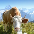 Swiss cow and milk — Stock Photo #32266171