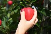 Červené jablko v ruce — Stock fotografie