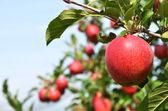 Elma ağacı üzerinde — Stok fotoğraf