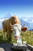 Swiss cow and milk — Stock Photo