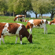 Cows in Emmental region, Switzerland — Stockfoto