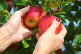 Red apples in the hands — Stock Photo
