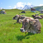 koeien in een alpiene weide. Melchsee-frutt, Zwitserland — Stockfoto #33989895