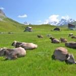 mucche in un prato alpino. Melchsee-frutt, Svizzera — Foto Stock #33989899