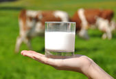 Glass of milk in the hand against herd of cows — Stock Photo
