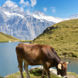 Cows in Alpine meadow. Jungfrau region, Switzerland — Foto de Stock   #34906557