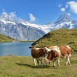 Cows in Alpine meadow. Jungfrau region, Switzerland — Foto de Stock   #34908143