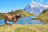 Cows in Alpine meadow. Jungfrau region, Switzerland — Stock Photo