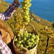 Girl with a basket full of grapes. Lavaux region, Switzerland — Stock Photo #35097269