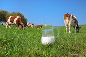Jug of milk against herd of cows. Emmental region, Switzerland — Foto de Stock