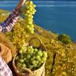 Girl with a basket full of grapes. Lavaux region, Switzerland — Stock Photo #36457925