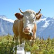 Jug of milk against herd of cows. Jungfrau region, Switzerland — Stock Photo #36489761