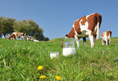 Jarra de leche contra el rebaño de vacas. región de emmental, suiza — Foto de Stock