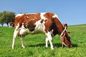 Kühe im emmental region, schweiz — Stockfoto