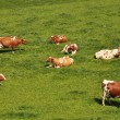 Stock Photo: Herd of cattle on scenic Alpine meadow