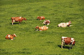 Herd of cattle on a scenic Alpine meadow — 图库照片