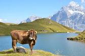 Cow on Alpine meadow — Stock Photo
