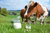 Milk and cows. — Stock Photo