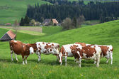Cows in Emmental region — 图库照片