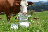 Milk and cows. — Foto de Stock