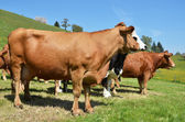 Cows in Emmental region — Stock Photo